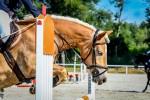 Jumping qudarille of halfinger horses of Sixta Farm